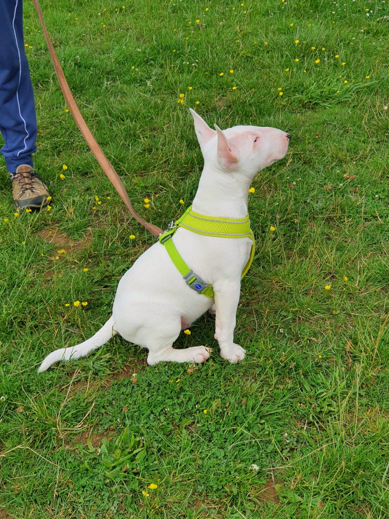 puppy classes andover bull terrier